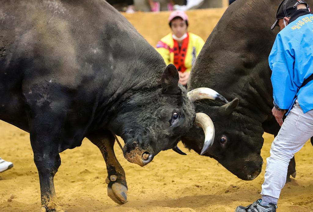 うるまの闘牛
